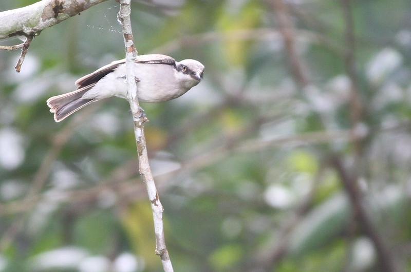 large woodshrike, Bokor National Park, Cambodia, 3/5/13