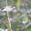 large woodshrike, Bokor National Park, Cambodia, 3/5/13