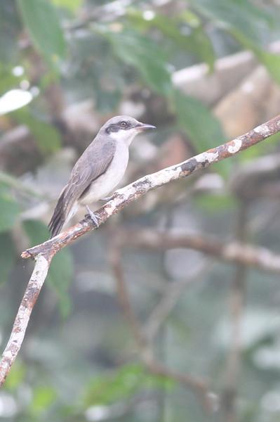 large woodshrike, Bokor National Park, Cambodia, 3/5/12