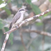 large woodshrike, Bokor National Park, Cambodia, 3/5/12