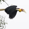 wreathed hornbill, male, in-flight, Bokor National Park