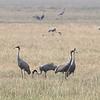 sarus cranes, family,  Anlong Pring Crane Reserve, 3/6/13