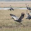 sarus cranes, Anlong Pring Crane Reserve, Cambodia, 3/6/13
