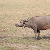 water buffalo, 3/6/13