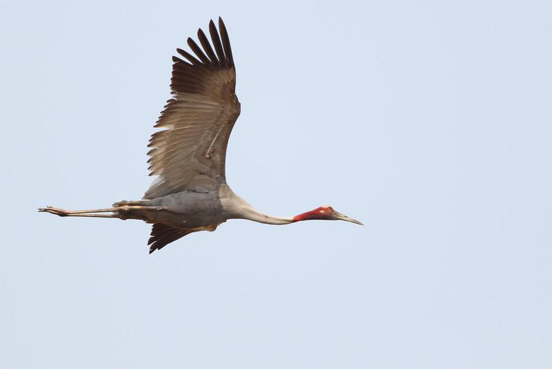 sarus crane, in-flight,  Anlong Pring Crane Reserve, 3/6/13