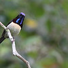 black-throated sunbird, male, Bokor National Park, Cambodia<br /> 3/4/2013