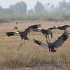 sarus cranes, landing, Anlong Pring Crane Reserve, 3/6/13
