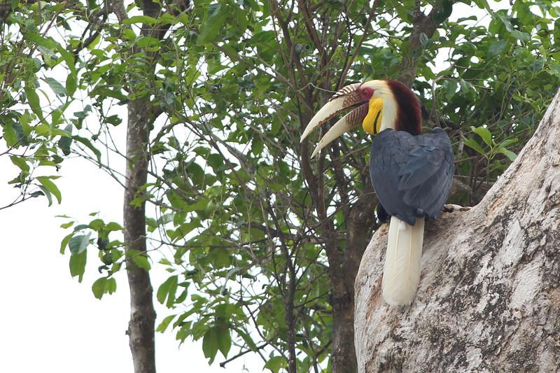 wreathed hornbill, male, Bokor National Park