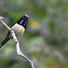 black-throated sunbird, male, Bokor National Park, Cambodia<br /> 3/4/2013