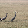 sarus cranes,  Anlong Pring Crane Reserve, 3/6/13