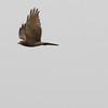 grey-faced buzzard, Bokor National Park