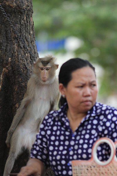 long-tailed macaque, juvenile, looking over it's captor's shoulder, Kep, Cambodia, 2013