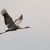 sarus crane, in-flight,  Anlong Pring Crane Reserve, 3/6/13