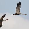 sarus cranes, in-flight,  Anlong Pring Crane Reserve, 3/6/13
