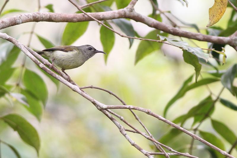 black-throated sunbird, female, Bokor National Park, Cambodia