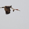sarus crane and Oriental pratincole, flying together, Anlong Pring Crane Reserve, 3/6/13