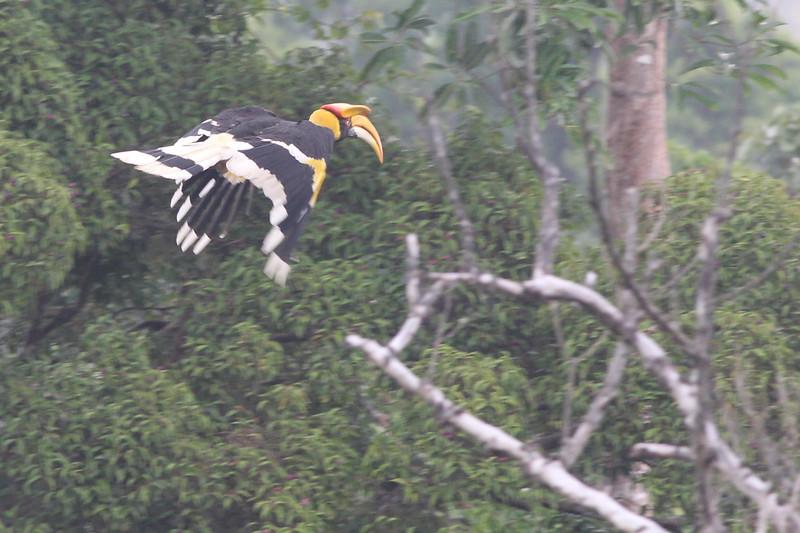 great hornbill, male, in-flight, Bokor National Park