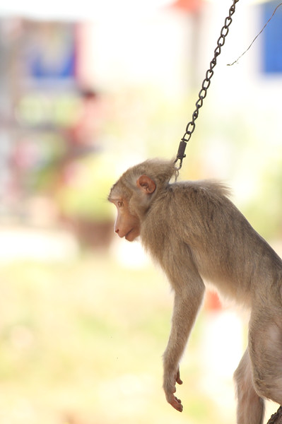 long-tailed macaque, juvenile, chained to tree, young animals are often kept by local people after having sold adults for medical experimentation, Kep, Cambodia, 2013