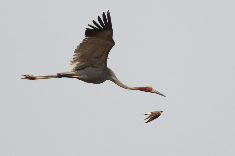 Sarus crane and an Oriental pratincole flying together, Anlong Pring Crane Reserve, Cambodia, 2014