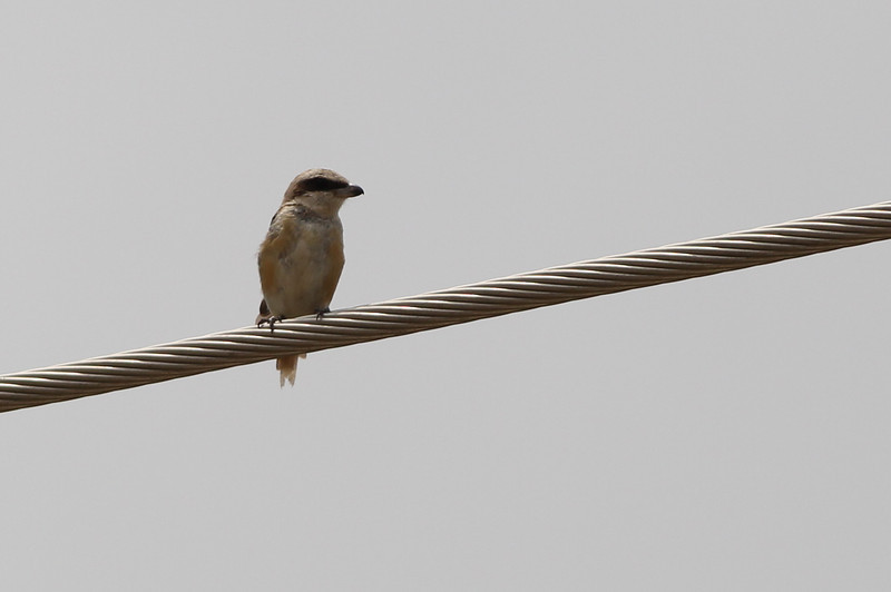 brown shrike, Bokor National Park, Cambodia
