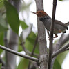ashy tailorbird, mangrove forest, Kep area, Cambodia, 3/6/13
