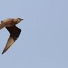 Oriental pratincole, in-flight, Anlong Pring Crane Reserve, Cambodia, 3/6/13