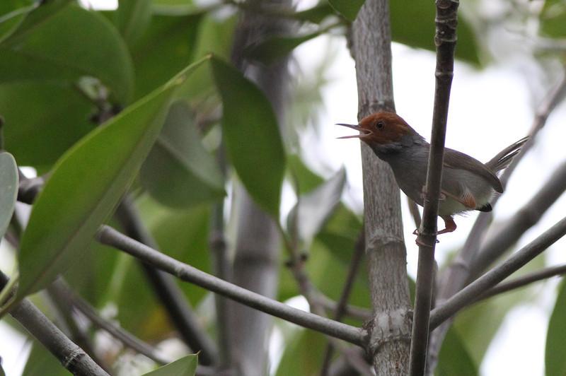 ashy tailorbird, mangrove forest, Kep area, Cambodia, 3/6/13