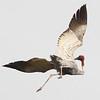 sarus crane, Anlong Pring