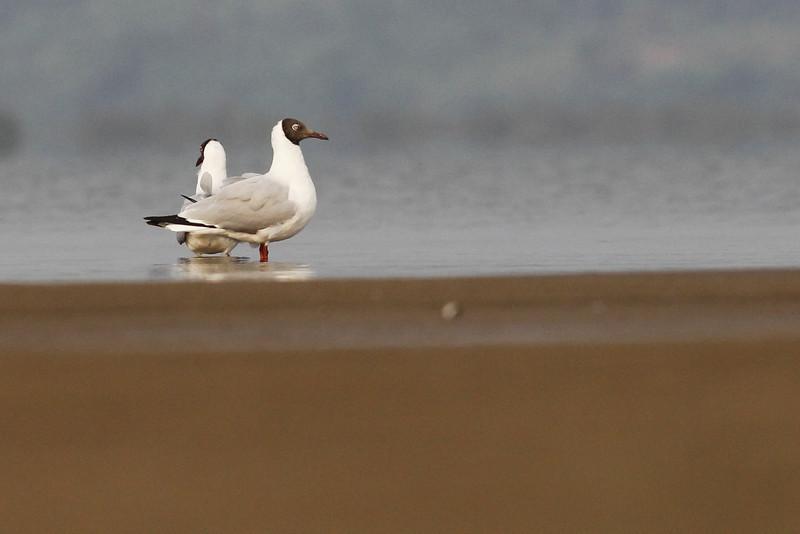 brown-headed gulls, Koh Preah, Mekong River, Cambodia, 4/10/13