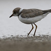 little-ringed plover, hatch year bird, foraging, Koh Preah, Mekong River, Cambodia, 4/9/13