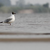 brown-headed gull, breeding adult, Koh Preah, Mekong River, Cambodia, 4/8/13
