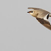 small pratincole, in-flight, Koh Preah, Mekong River, Cambodia, 4/10/13
