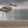 great thick-knee, Koh Preah, Mekong River, Cambodia, 4/9/13