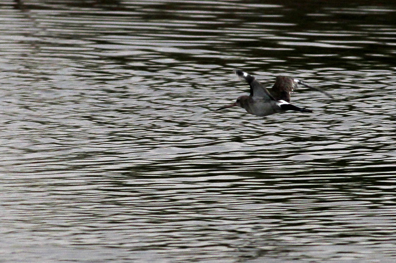 black-tailed godwit, adult breeding, in-flight, Koh Preah, Mekong River, Cambodia, 4/9/13