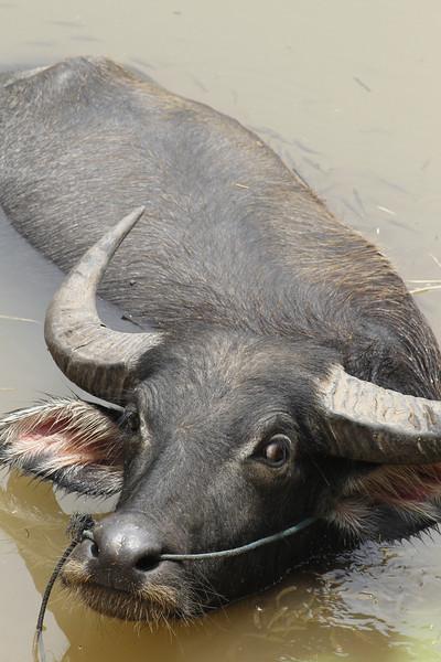 water buffalo amongst fishes, Mekong River, Cambodia, 4/11/13