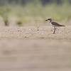greater sand plover, juvenile, Koh Preah, Mekong River, Cambodia, 4/8/13