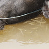 water buffalo amongst fishes, detail, Mekong River, Cambodia, 4/11/13