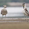 great thick-knee pair, preening, Koh Preah, Mekong River, Cambodia, 4/9/13