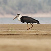 woolly-necked stork pair, foraging, Koh Preah, Mekong River, Cambodia