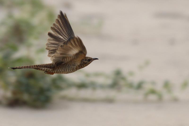 plaintive cuckoo, female, in-flight, Koh Preah area, Mekong River, 3/