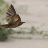 plaintive cuckoo, female, in-flight, Koh Preah area, Mekong River, 3/