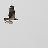 osprey, carrying large carp, Mekong River, Cambodia