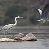 grey heron, adult breeding (left) juvenile (right), Mekong River, Cambodia, 3/14/13