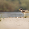 great thick-knee, adult, gaping, Koh Preah area, Mekong River, Cambodia, 3/14/13