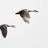 Indianspot-billed ducks, in-flight, Koh Preah area, Mekong River, Cambodia, 3/13/13