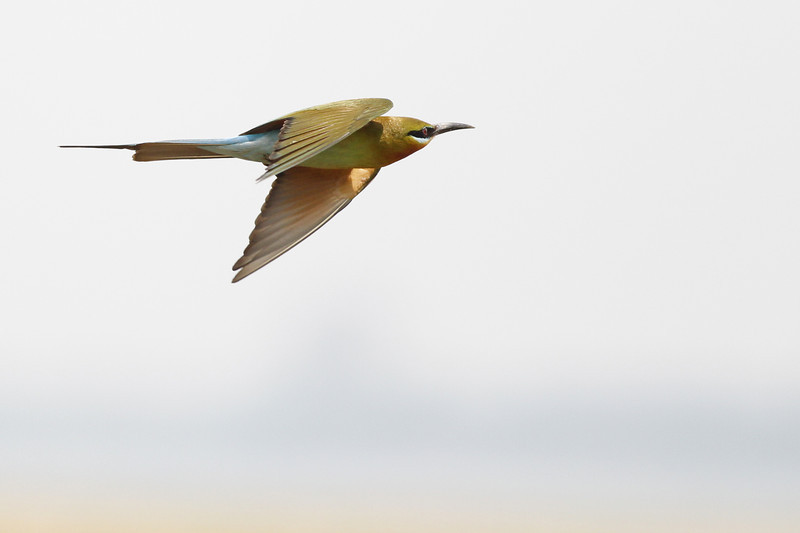 blue-tailed bee-eater, in-flight, Koh Preah area, Mekong River, Cambodia