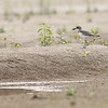 greater sand plover, first record for me on the Mekong, Koh Preah
