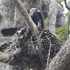 white rumped vulture, female on nest male atop nest, O' Krieng area, Cambodia, 3/11/13