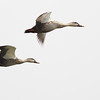 Indianspot-billed ducks, in-flight, Koh Preah area, Mekong River, Cambodia, 3/13/12
