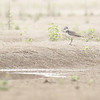 greater sand plover, a first record during my survey work on the Mekong, Koh Preah area, Mekong River, Cambodia, 3/16/13